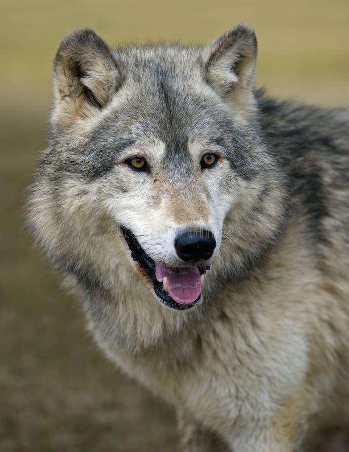 Loup de bois de construction de observation (lupus de Canis) photo libre de droits