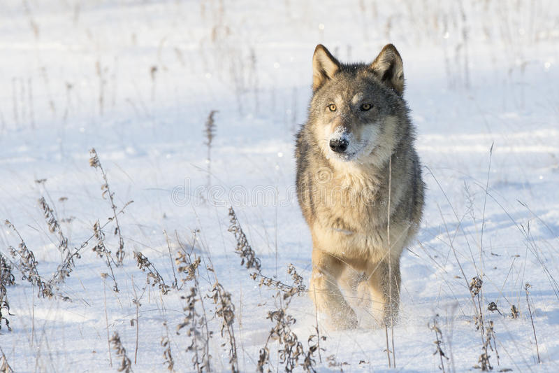 Loup de bois de construction fonctionnant dans la neige image stock