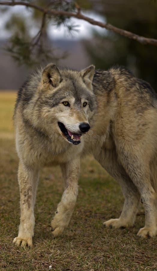 Loup de bois de construction (lupus de Canis) sous le branchement d'arbre photo stock
