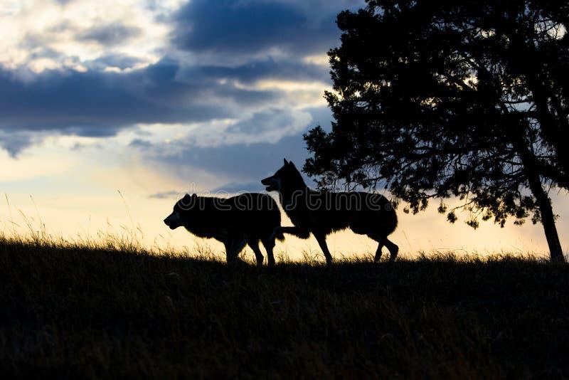 Loup de bois de construction masculin et femelle au coucher du soleil image libre de droits