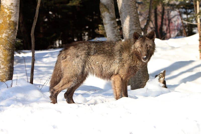 Loup de bois de construction noir femelle images libres de droits