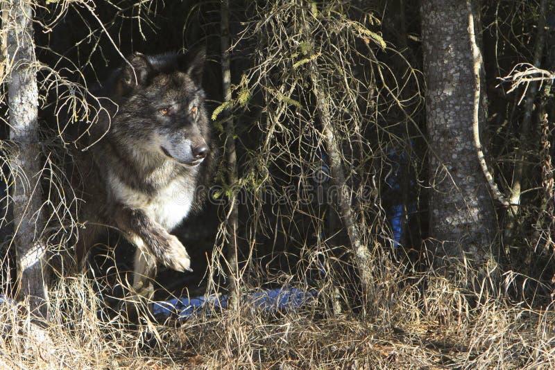 Loup de bois de construction noir quittant le repaire photos stock