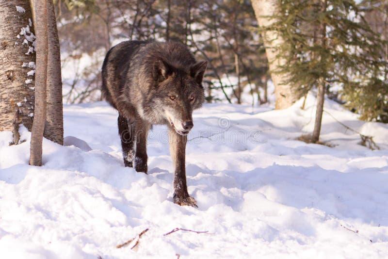 Loup de bois de construction noir sortant des arbres photo libre de droits