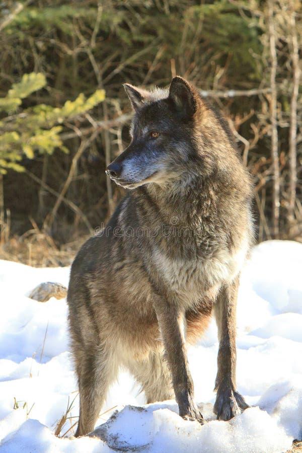 Loup de bois de construction noir sur l'avance photos stock