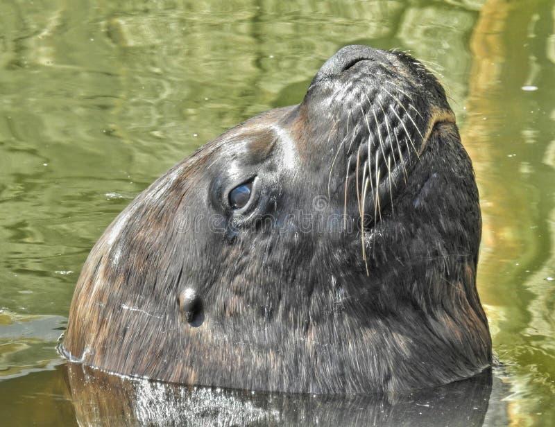 Loup de mer photos libres de droits