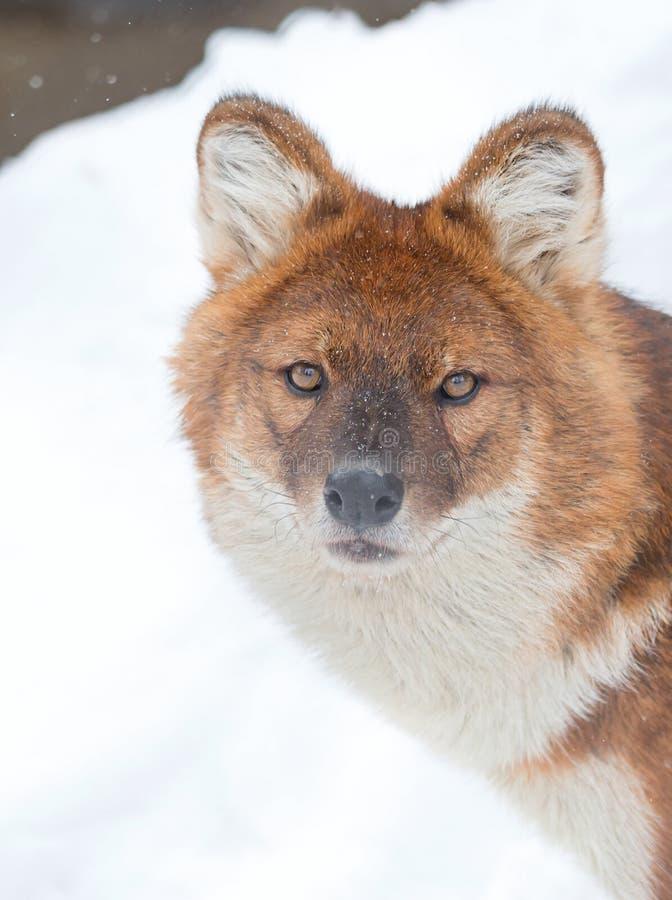 Loup de montagne images libres de droits