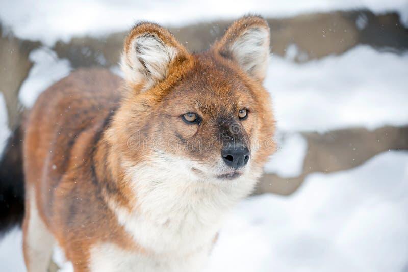 Loup de montagne photographie stock