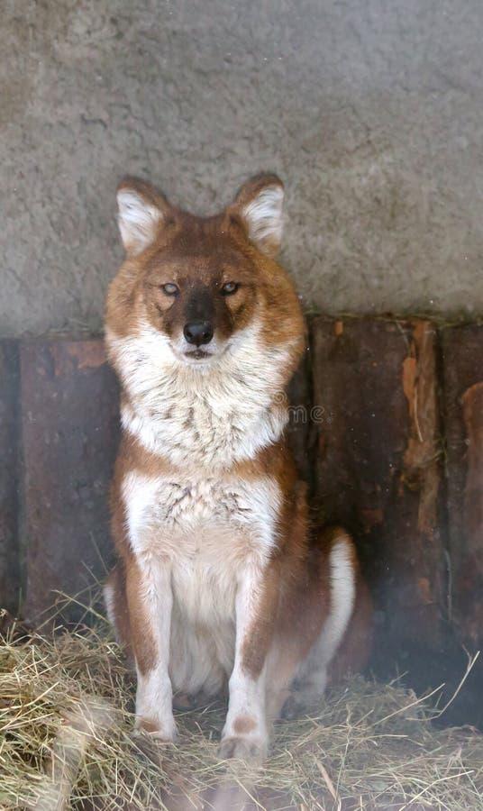 Loup de montagne photo libre de droits