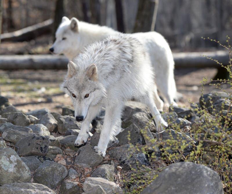 Loup de toundra dans le sauvage image libre de droits