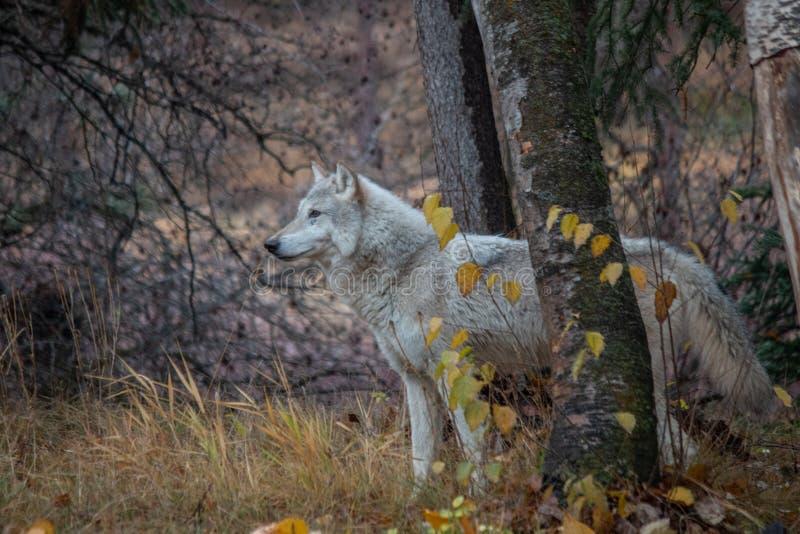 Loup de toundra dans les arbres de bouleau images stock