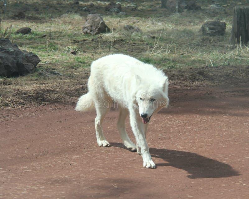 Loup de toundra sur le chemin de terre images libres de droits