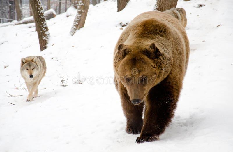 Loup et un ours. photos stock