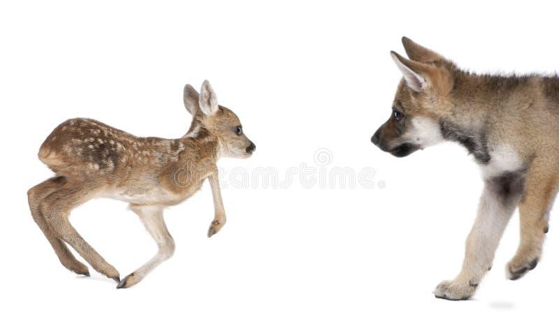 loup eurasien d'oeufs d'effet de faon de cerfs communs photographie stock