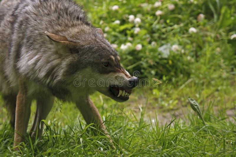 Loup fâché photo stock