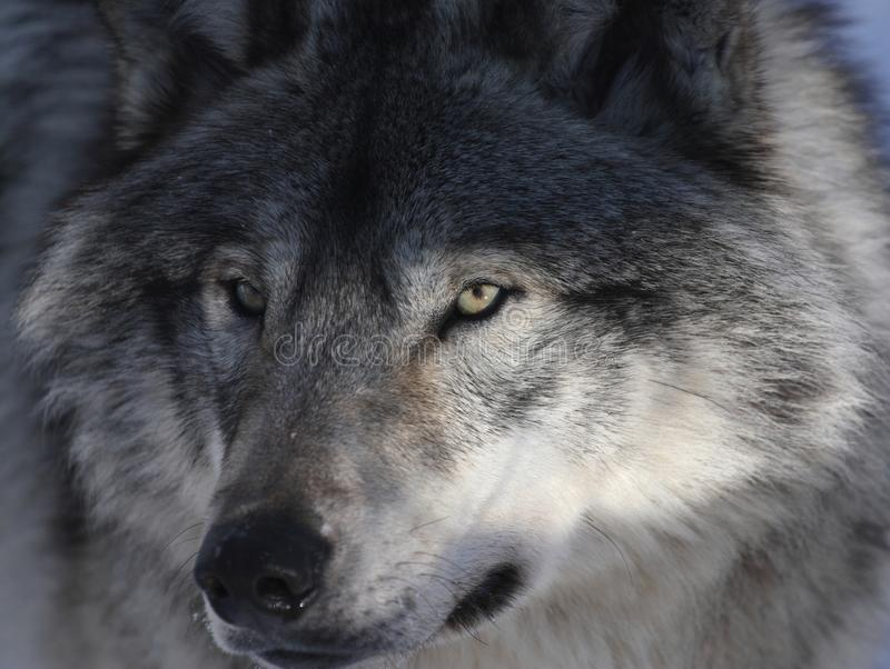 Loup gris photo libre de droits