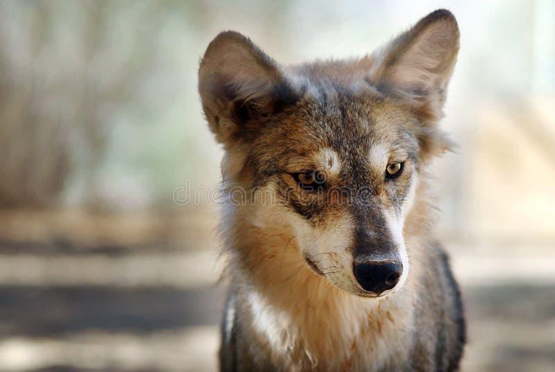 Loup gris photos stock