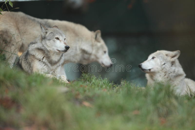 Loup gris. image stock