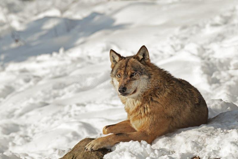 Loup gris appréciant un sunbath photographie stock libre de droits