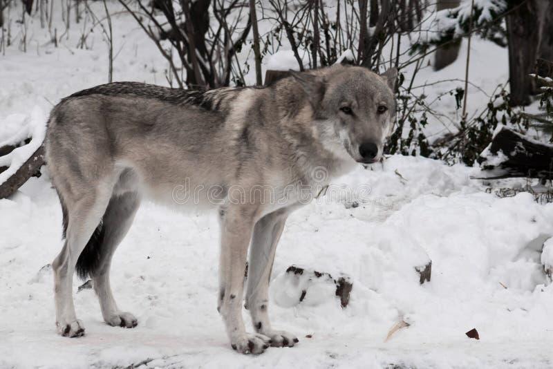 Loup gris dans la neige photographie stock libre de droits