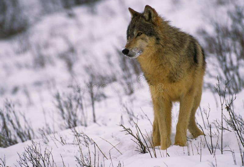 Loup gris en hiver image libre de droits