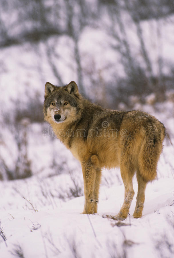 Loup gris en hiver photo libre de droits