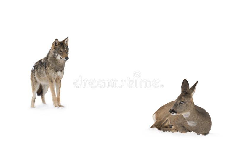 Loup gris et cerfs communs photos stock