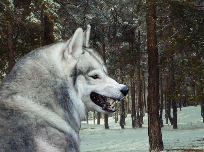 Loup gris fâché dans la forêt d'hiver photo libre de droits