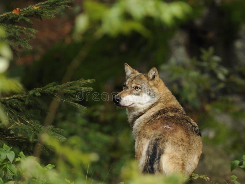 Loup gris (lupus de Canis) photographie stock libre de droits