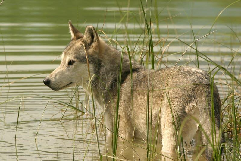 Loup gris restant dans l'eau photo stock