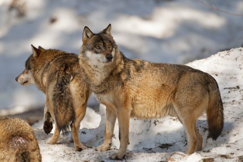 Loup gris sur le fond de neige images libres de droits