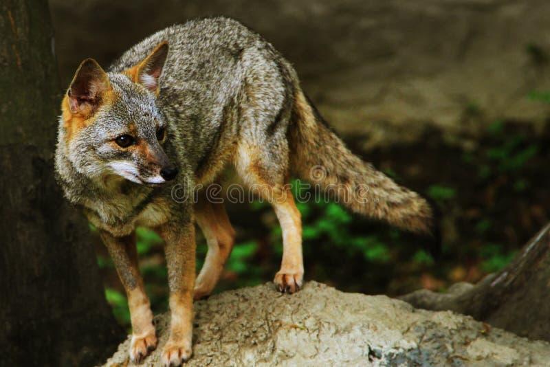 Loup, Guayaquil, Equateur images stock