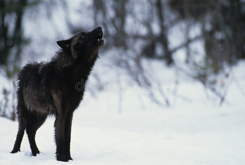 Loup hurlant dans la neige photo stock