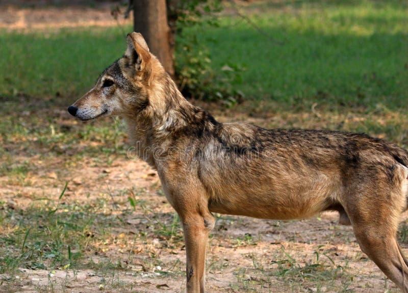 Loup indien photos stock