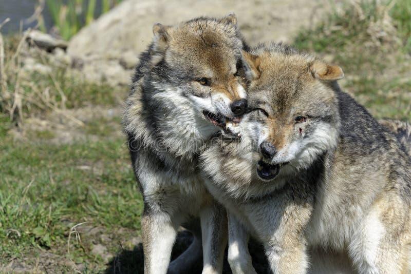 Loup, lupus de canis photographie stock libre de droits
