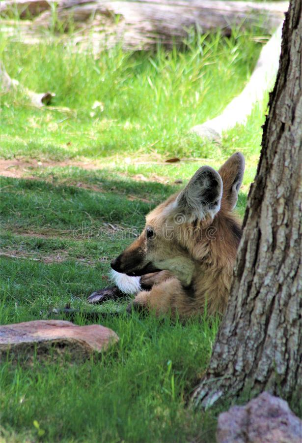Loup Maned, zoo de Phoenix, centre de l'Arizona pour la conservation de la nature, Phoenix, Arizona, Etats-Unis images libres de droits