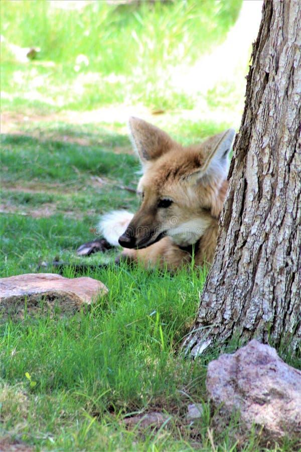 Loup Maned, zoo de Phoenix, centre de l'Arizona pour la conservation de la nature, Phoenix, Arizona, Etats-Unis image libre de droits