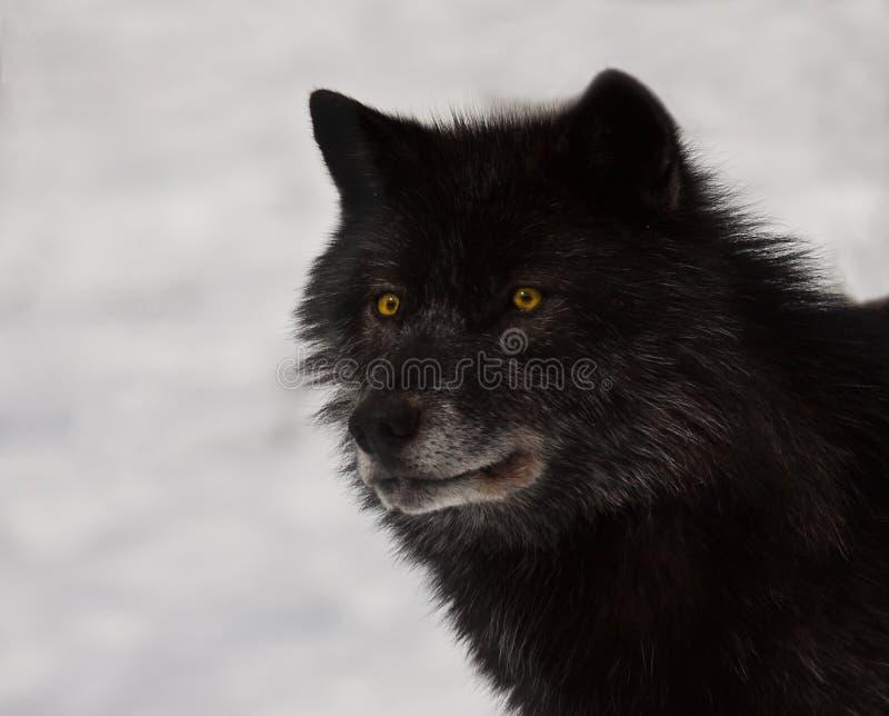 Loup noir photos libres de droits