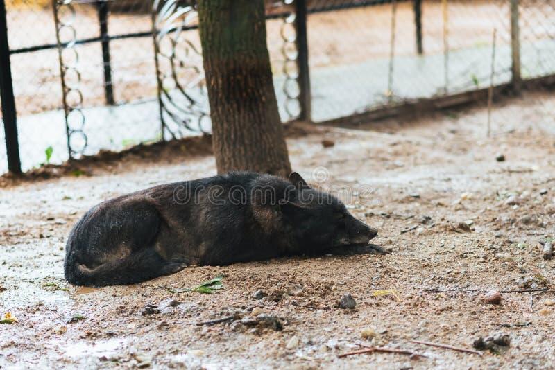 Loup noir ennuyé en captivité images stock