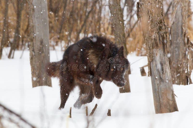 Loup noir fonctionnant en bas de la proie photos libres de droits