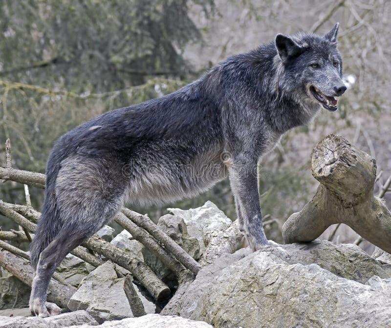 Loup noir 1 photos libres de droits