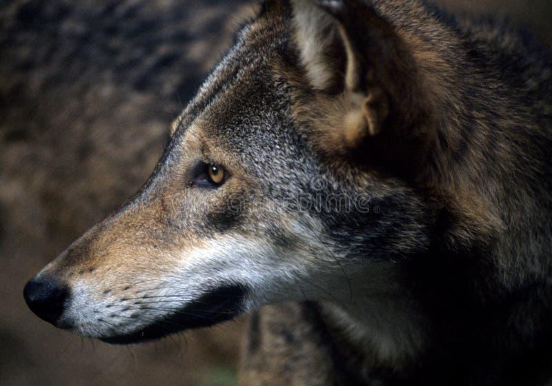 Loup rouge américain photos libres de droits