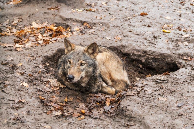 Loup se situant dans un puits photographie stock