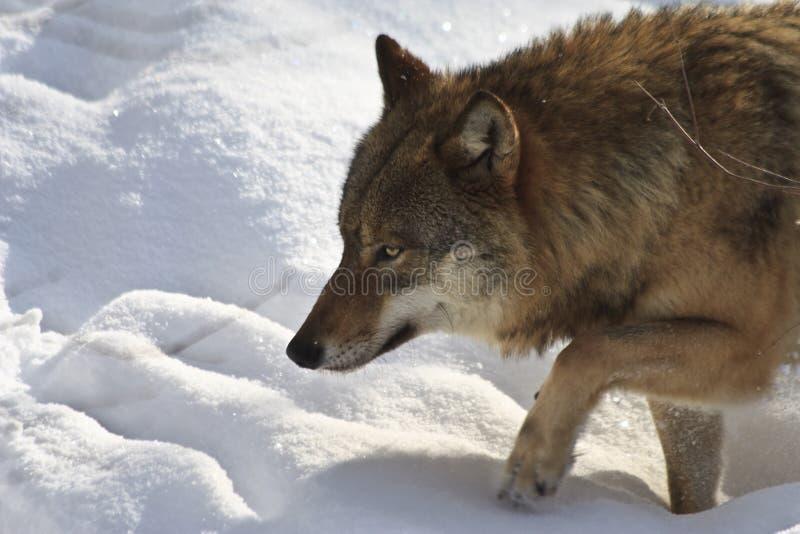 Loup sur le vagabondage