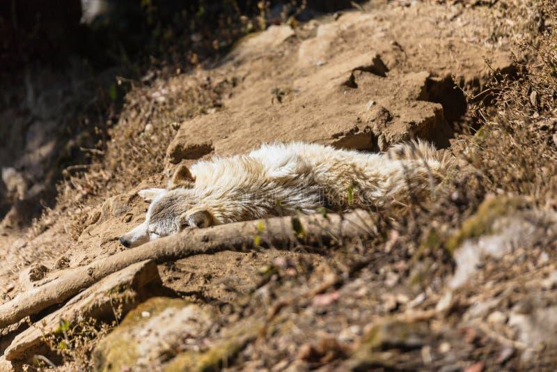 Loup tibétain de rampement au sol dans la cage en parc zoologique de l'Himalaya de Padmaja Naidu chez Darjeeling, Inde photos stock