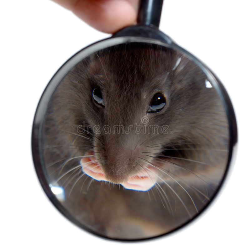 Loupe et rat images stock