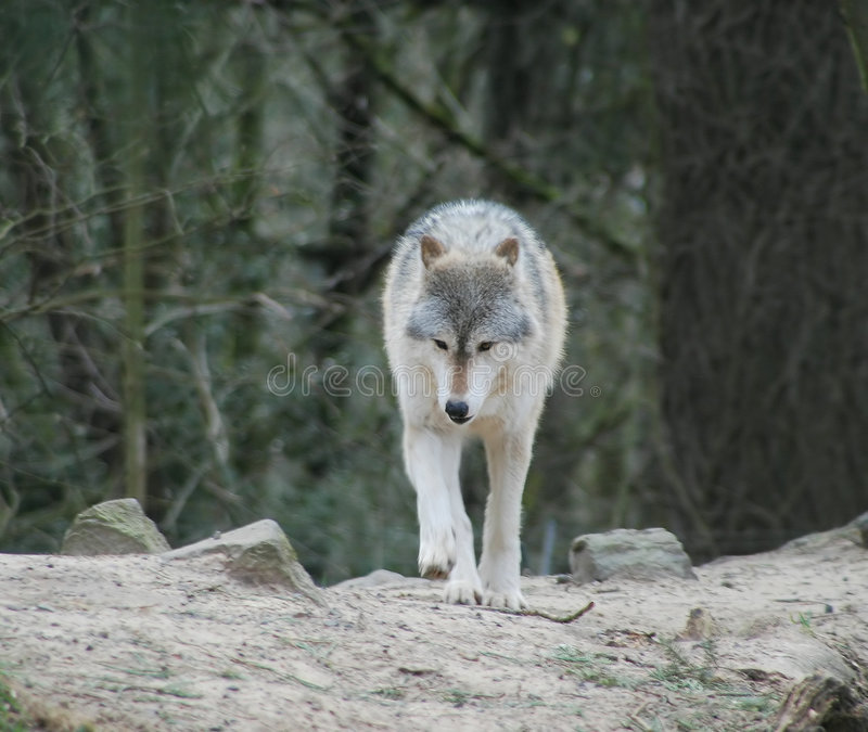 Loups images stock