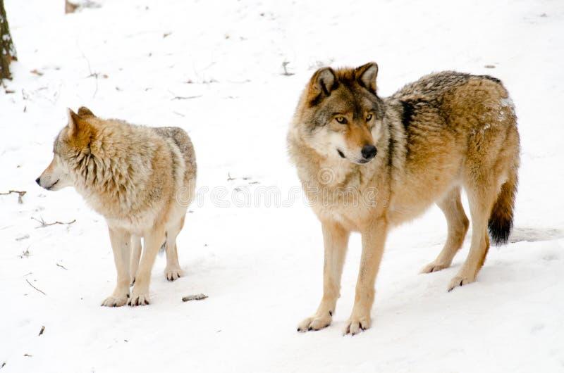 Loups photographie stock libre de droits