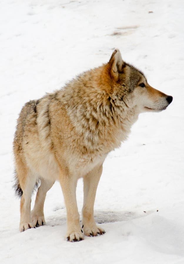 Loups image libre de droits