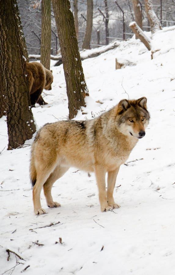 Loups photos stock