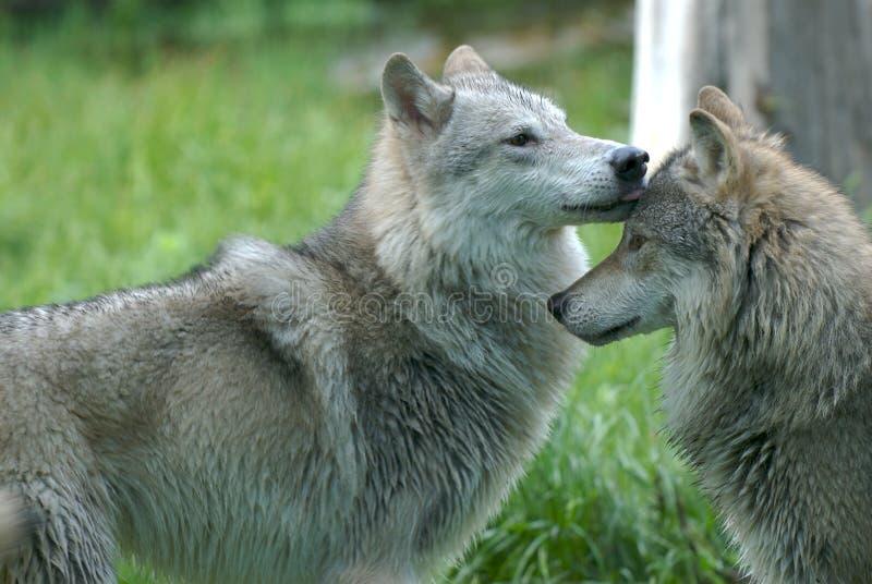 Loups agissant l'un sur l'autre photographie stock